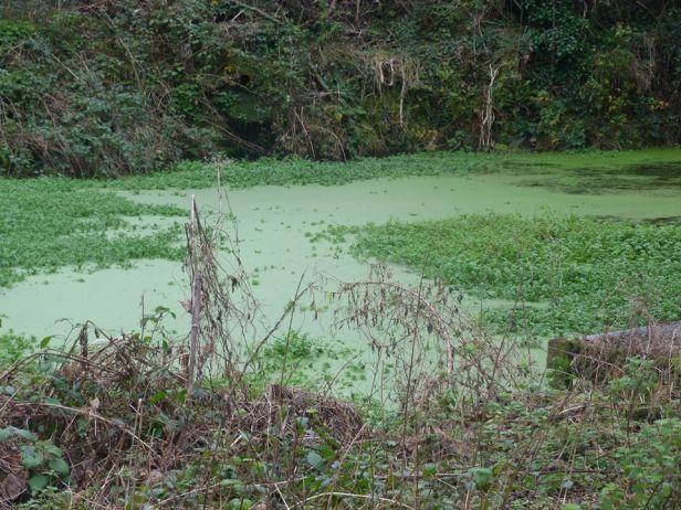 Tehidy pic 19 wildlife pool