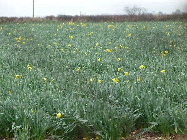 Tehidy pic 4 daffodiles